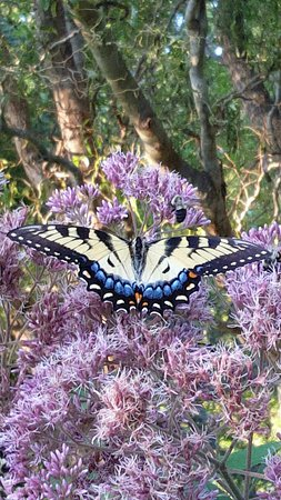 Fairview, NC: Landscaping attracts numerous species of butterflies