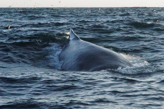 Trinity, Canadá: Humpback Wales