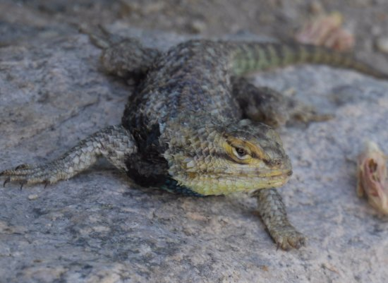 29 Palms Inn: The desert spiny lizard, one of the many types of lizards you'll see around the grounds