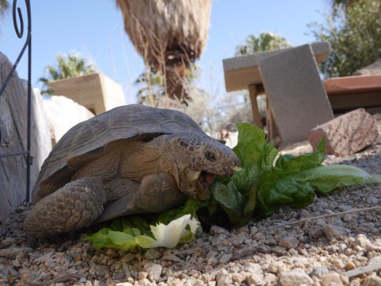 29 Palms Inn: Gino, our resident desert tortoise