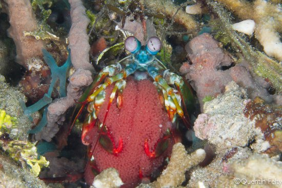 DABIRAHE Dive, Spa and Leisure Resort (Lembeh): Mantis shrimp with eggs