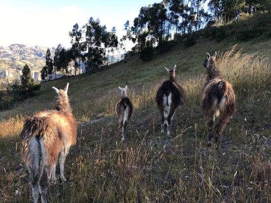 Black Sheep Inn Ecolodge: The lodge llamas