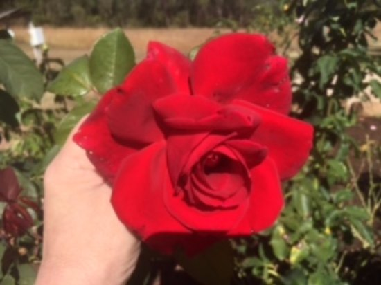Gladstone, Australia: Gorgeous red rose