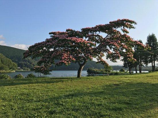 Lake Tanuki: 湖畔に綺麗で不思議な花(ホウキみたい)を付けた気を見つけました。後で調べたら、この木「ネムノキ」でした。ネムノキは夏の季語だそうですよ!