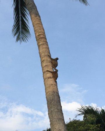คอรัลวิว ไอส์แลนด์ รีสอร์ท: Flying lemurs