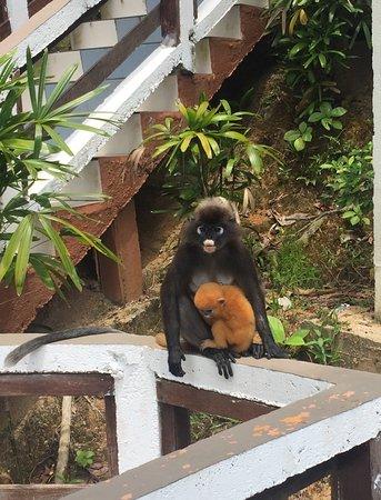 คอรัลวิว ไอส์แลนด์ รีสอร์ท: Leaf monkeys