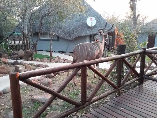 Marloth Park, Güney Afrika: Der Kudu kam zum Abendessen vorbei.