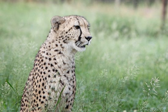 Emdoneni Lodge: Cheetah, Raine