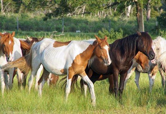 Daisey's Island Cruises: Wild Ponies