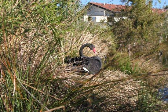 Bundall, Australien: Nesting swans