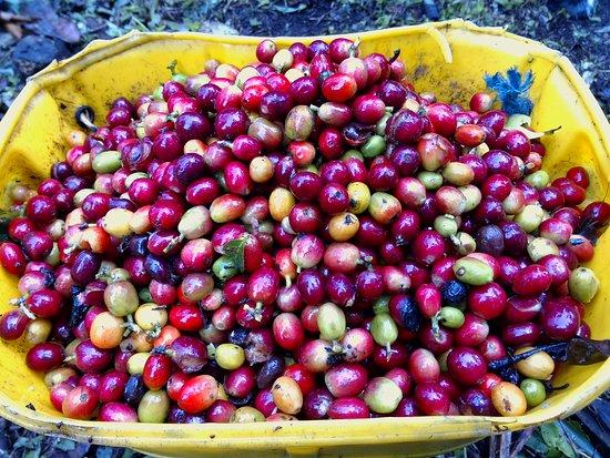 Envigado, كولومبيا: Sus frutos (Café en cereza)