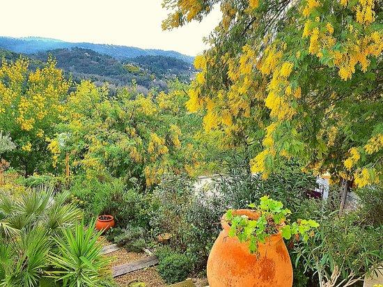 Auribeau-sur-Siagne, França: Mimosas in the garden
