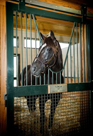 Versailles, KY: Tiznow, 2x Breeder's Cup Classic Champ and Horse of the Year