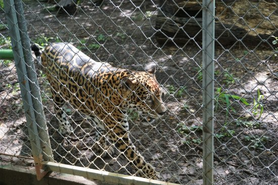 Canas, Costa Rica: Jaguar - he was friends with the deer