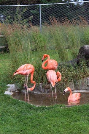Minocqua, WI: Flamingos