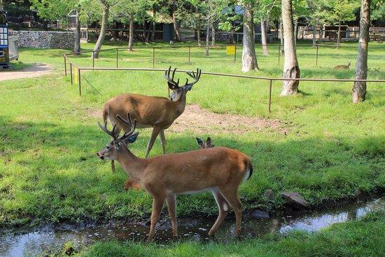 Minocqua, WI: Deer