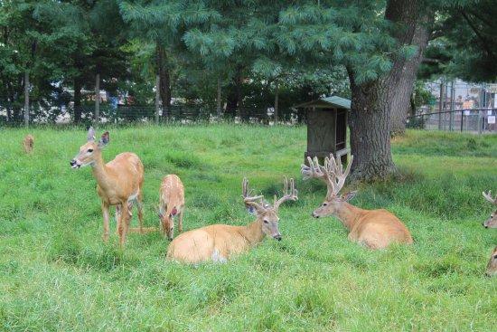 Minocqua, WI: Deer Herd