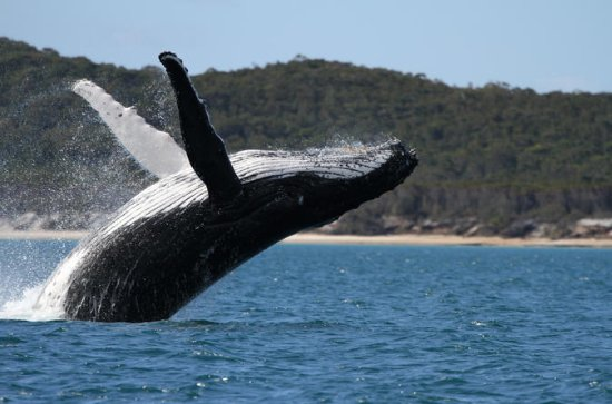 Hervey Bay Whale Watching Cruise with...