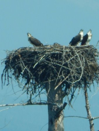 Flathead National Forest: Osprey nest