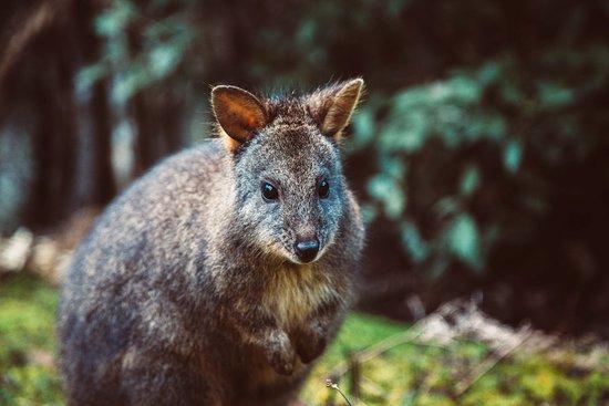 Huonville, Australia: Friendly Wallabies on your doorstep