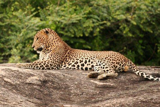 Tangalle, سريلانكا: leopard