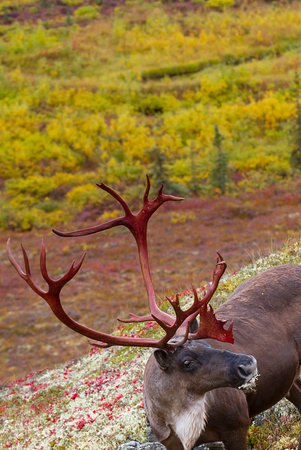 Planet Earth Adventures: Fall Photo Tour, Looking down on Caribou from a hill.