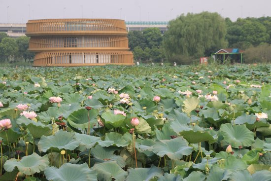 Lotus Pond in Moonlight Wetland Park
