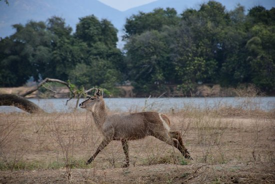 Camping Sites at Mana Pools National Park: Waterbuck posing for the camera