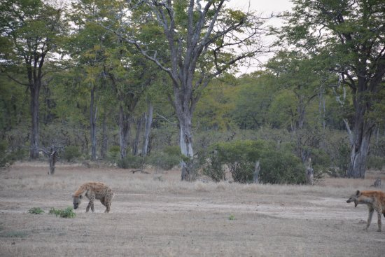 Camping Sites at Mana Pools National Park: Spotted Hiena at new airstrip (next to hanger)