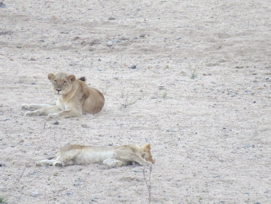 Lions infront of restaurant at Ngwenya Lodge