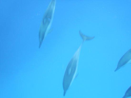 Grande Riviere Noire: Spinner dolphins