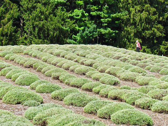 Niles, MI: Visitors are free to wander the fields of lavender