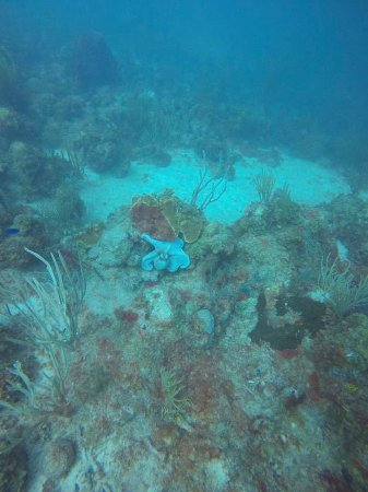 St. Croix Ultimate  Bluewater Adventures (SCUBA), Inc.: Octopus among the reef