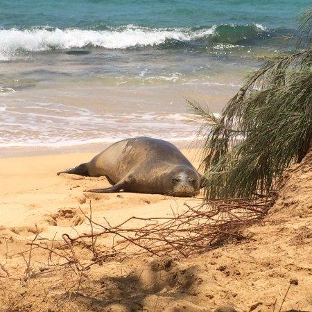 Kalaheo, HI: monk seal on the nearby beach