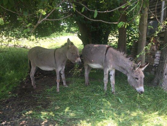 Tanne, Jerman: Esel