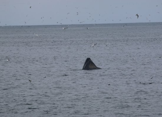 Whale photographed from the Witless Bay shore