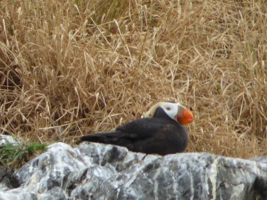 Rainbow Tours: Tufted Puffin