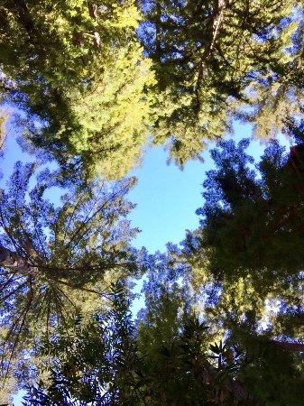 Redwoods of Mount Hermon