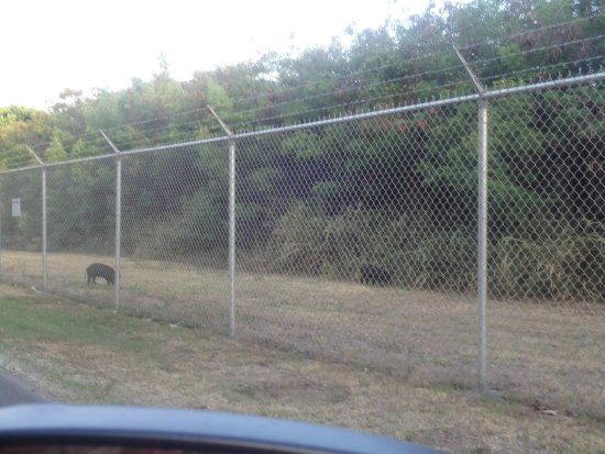 Bellows Air Force Station: Wild Boar on Bellows AFS