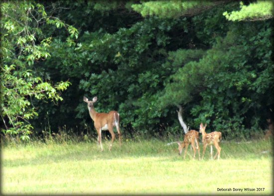 Lebanon, ME: During our visit we were thrilled to see this Whitetail doe and twin fawns.