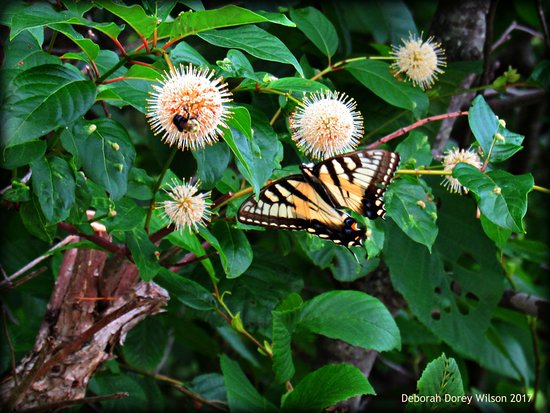 Lebanon, ME: There were so many Eastern Yellow Swallowtail butterflies in the flowers and bushes!!!