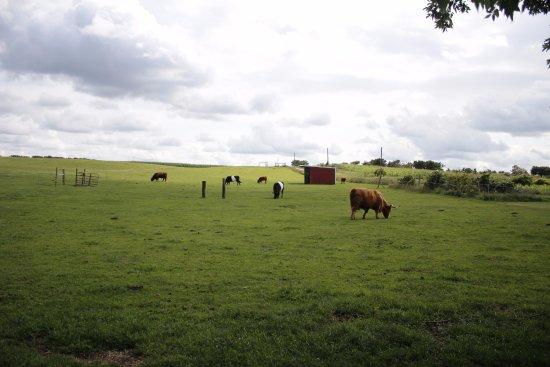 Saugatuck, MI: The cows at Dawn's farm!