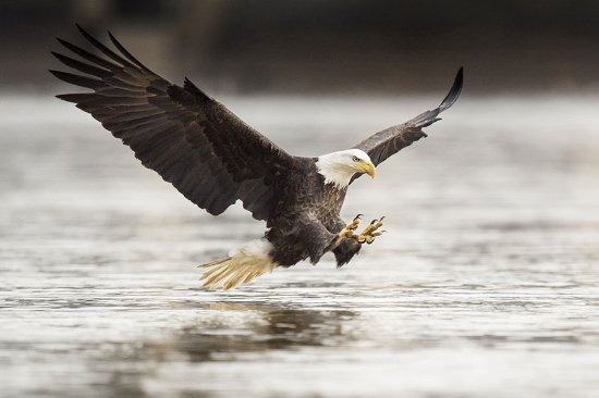 Orca Song Tours: Bald Eagles are seen frequently around Ketchikan. It's always exciting to see them diving for sa
