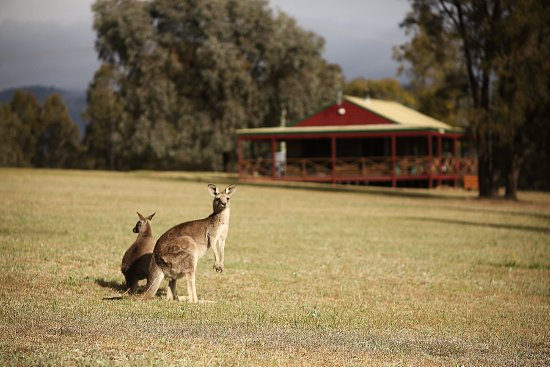 Pokolbin Cabins: See the wild kangaroos in their natural habitats