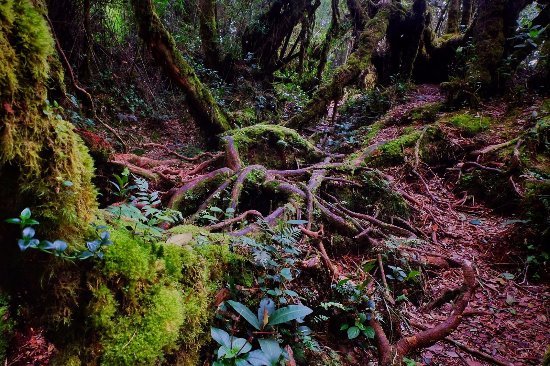 aa8255094 Roots crisscrossing the forest floor like veins - Picture of Mossy ...
