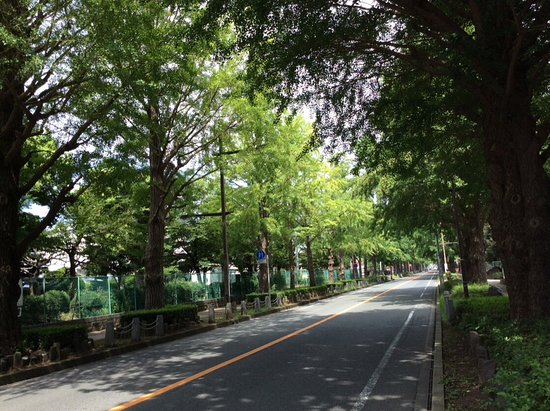 Maidenhair Trees at Nihondori