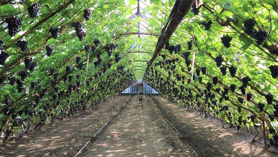 Historische Druivenkwekerij Sonnehoeck