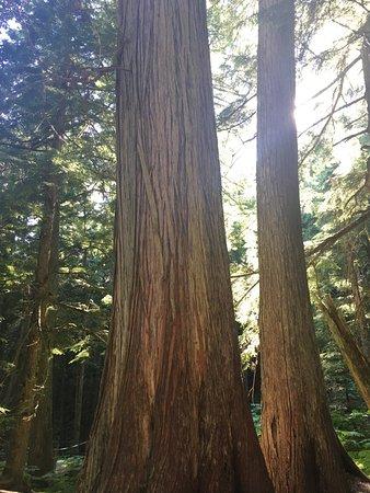 Giant Cedars Boardwalk Trail照片