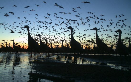 Grand Island, NE: Each spring, more than 500,000 sandhill cranes gather in the Platte River valley.