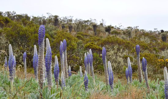 Boyaca Department, Colombie : Lupinos